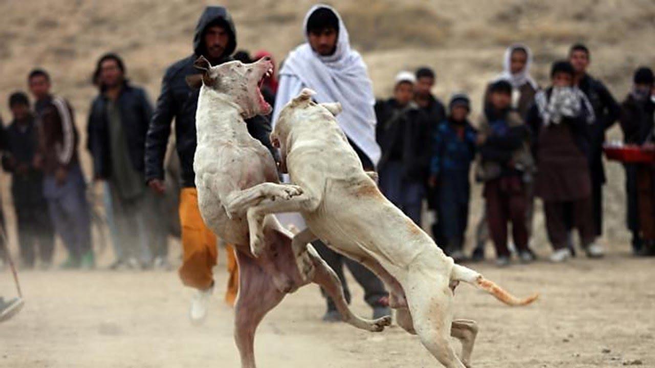 il dog fighting