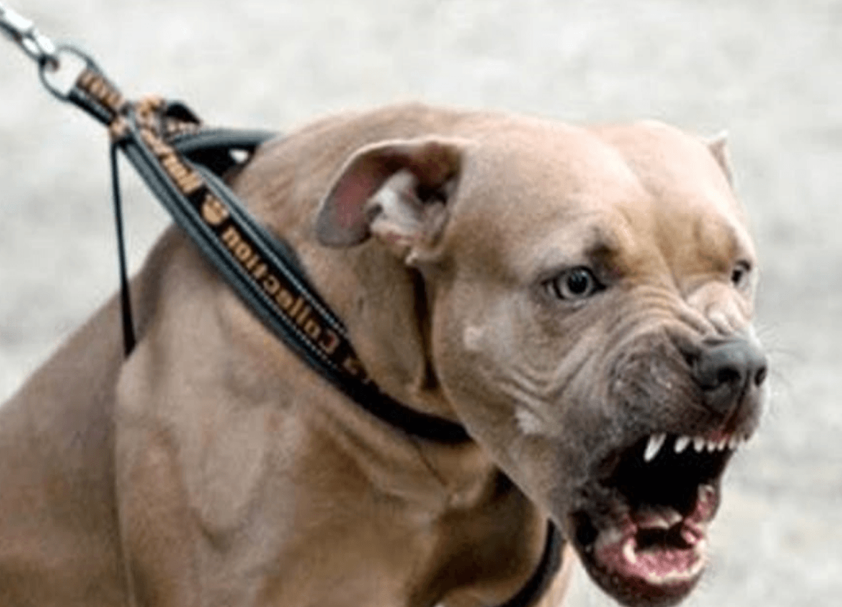 5 ragioni per non prendere un pitbull – secondo le dicerie comuni