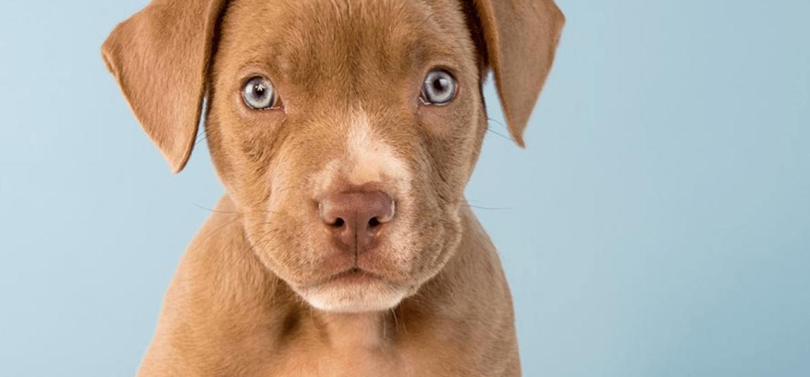 Come Addestrare Un Pitbull Il Rapporto Con Il Cane Pitbull Is