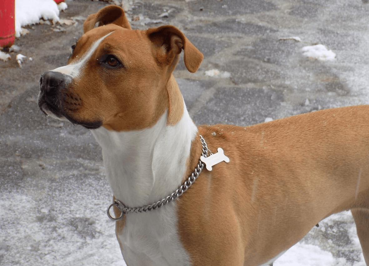 Pitbull – Miti, leggende e disinformazione