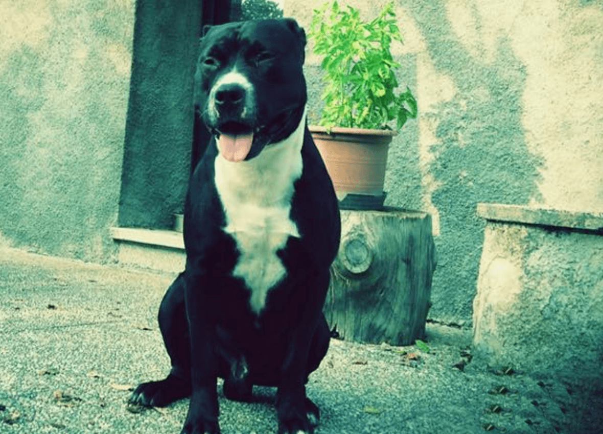 Pitbull come primo cane? Si, basta essere preparati