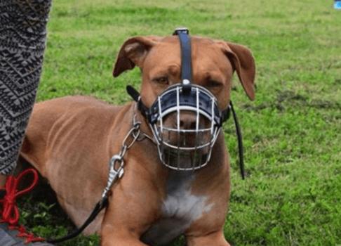 Cani cane con museruola
