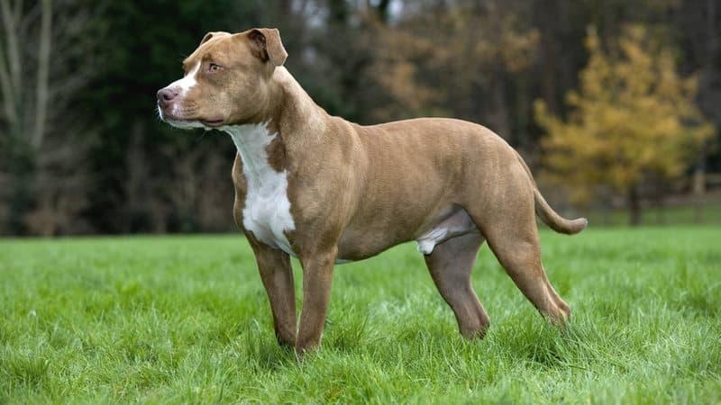 Cani pericolosi, quali sono e chi può possederli