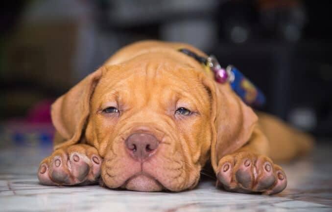 Cosa devi sapere quando compri un cane. Gli obblighi di allevatore e proprietario.