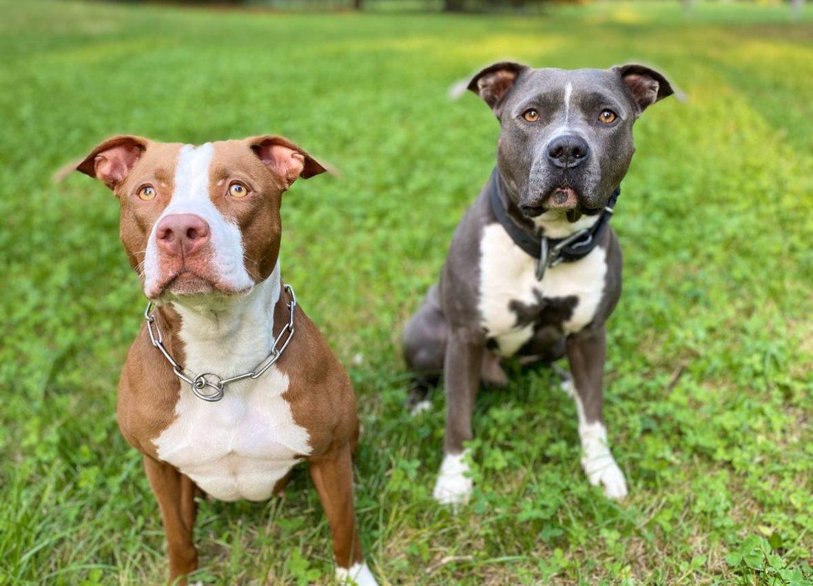Le differenze tra American pitbull terrier (APBT) e American staffordshire terrier (Amstaff)